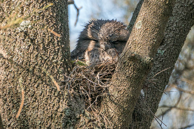 A Tawny Frogmouth is well camouflaged in a fork in a Casuarina tree.