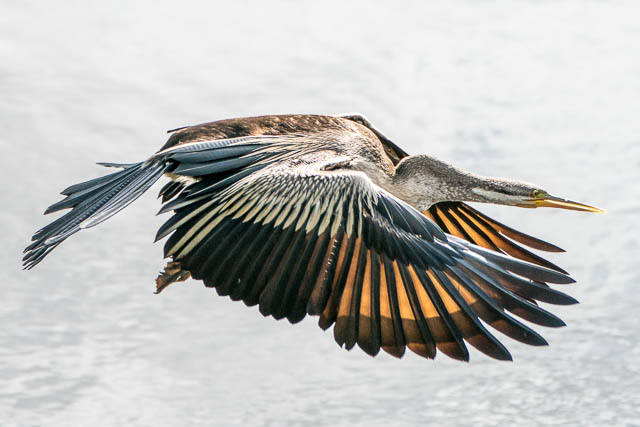 An Australian Darter taking off from the bank