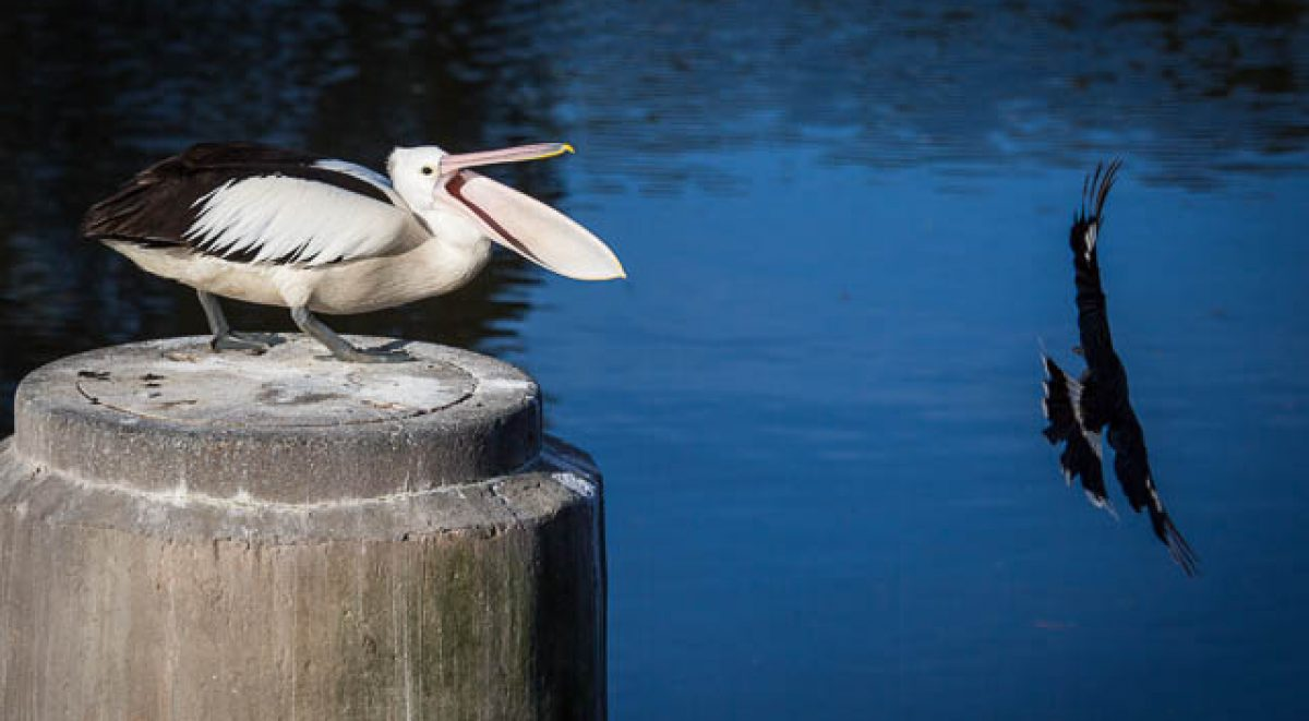 A pelican opens its jaw wide as a magpie swoops past