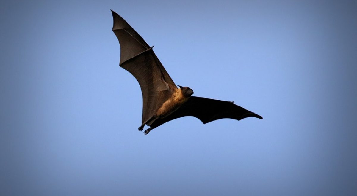 Flying fox bat in the sky