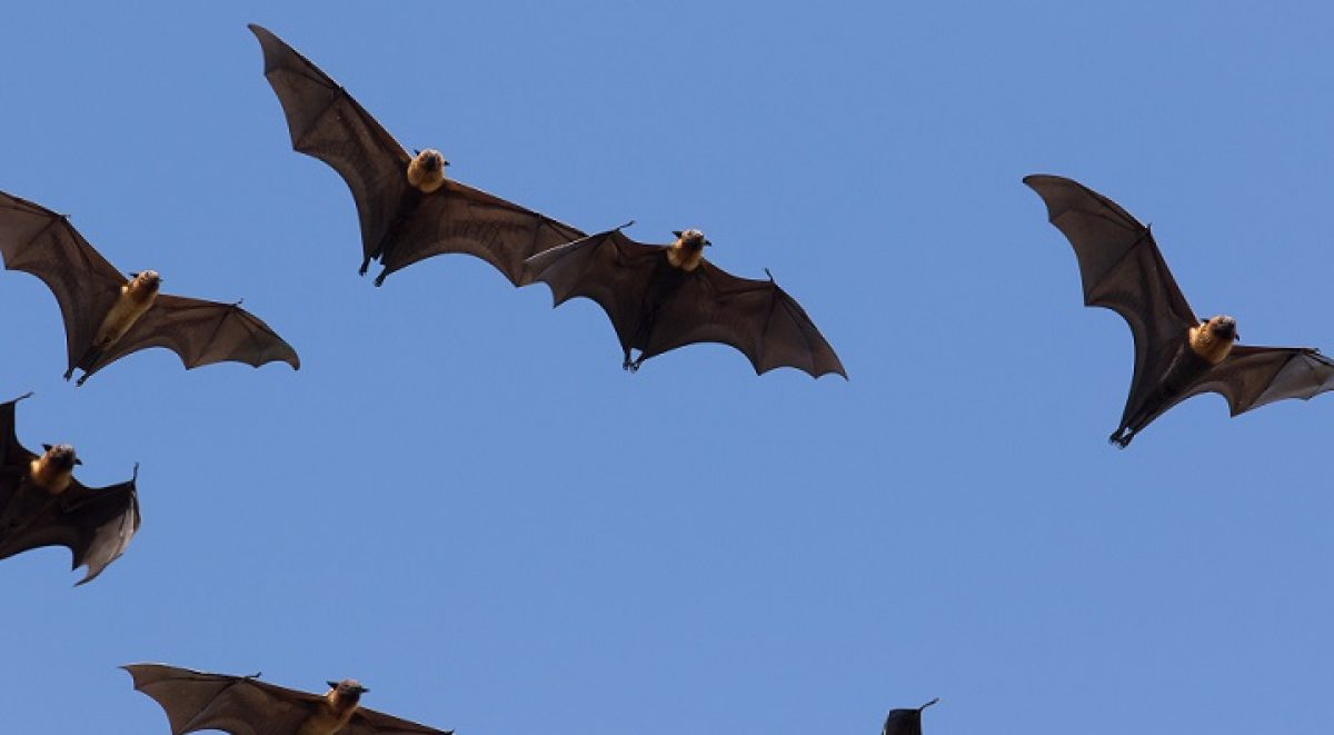 Flying foxes against clear blue sky