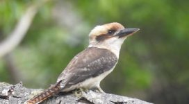 Kookaburra resting on tree trunk