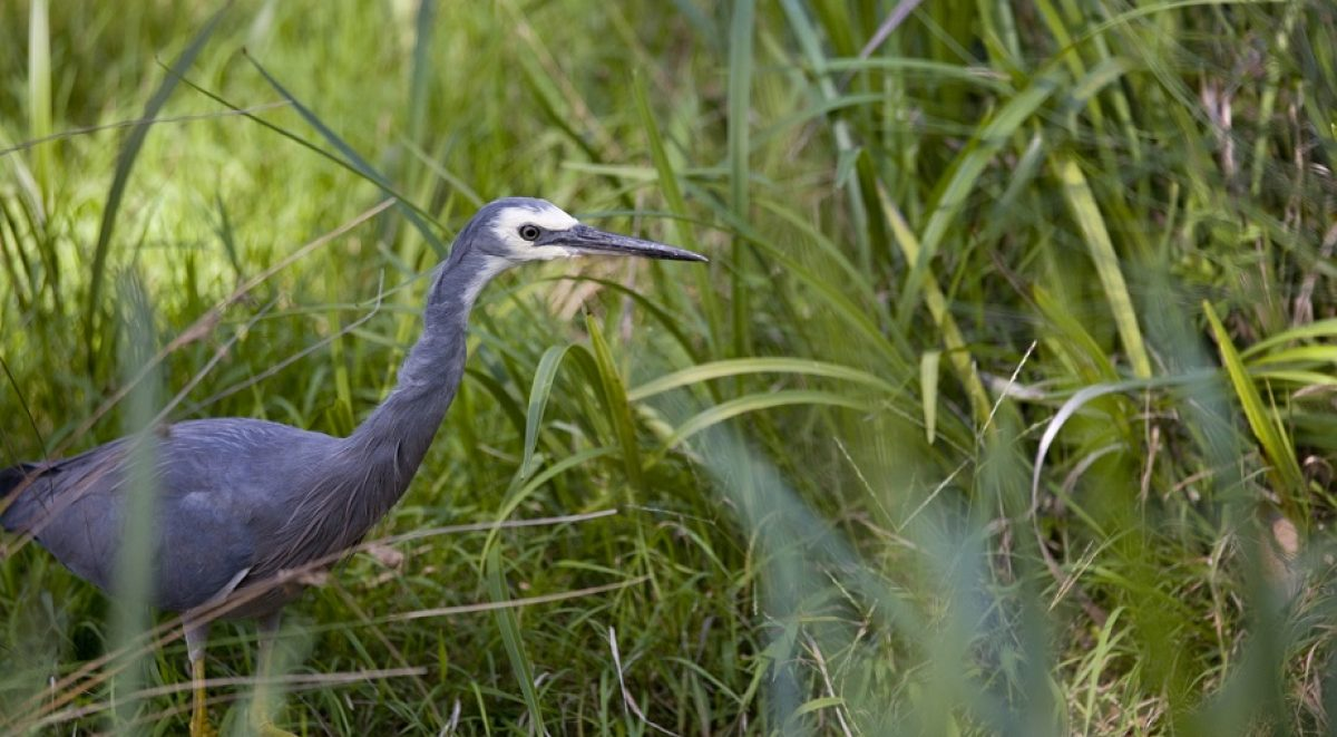 Close up of white faced heron walking through tall grass