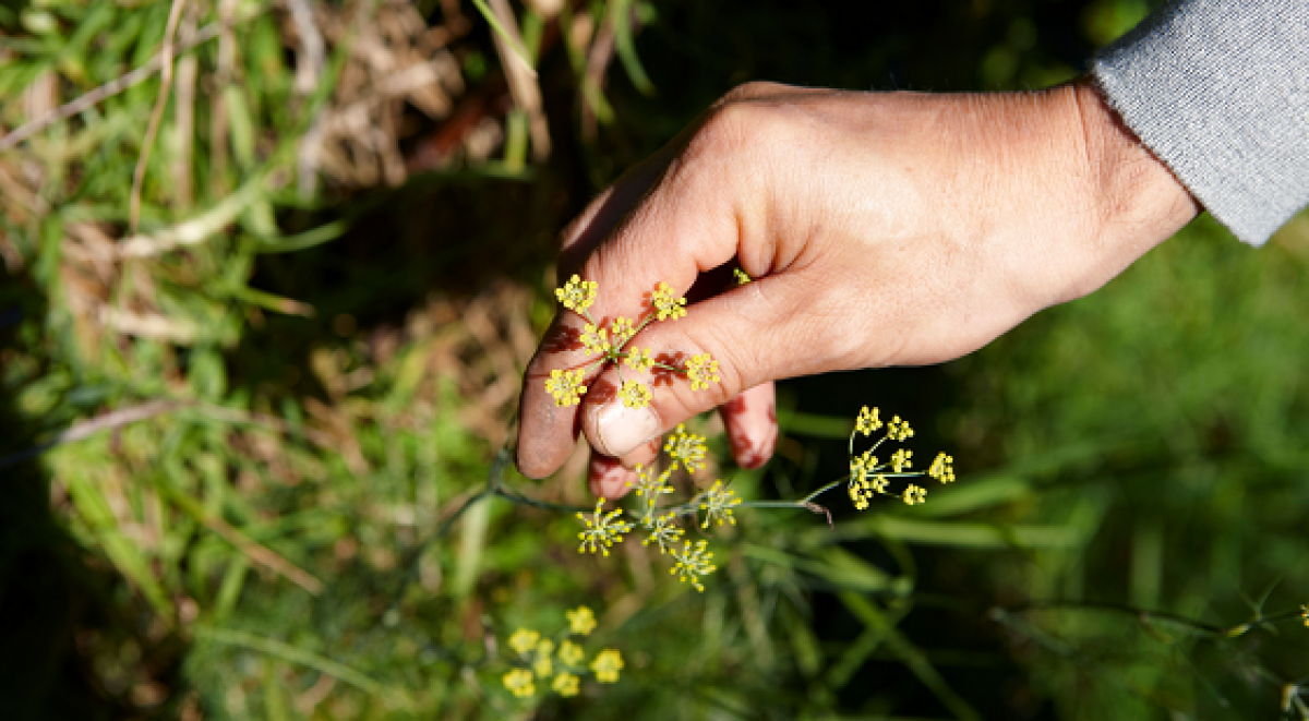Birds eye view of of a hand clutching at growing yellow weed flowers