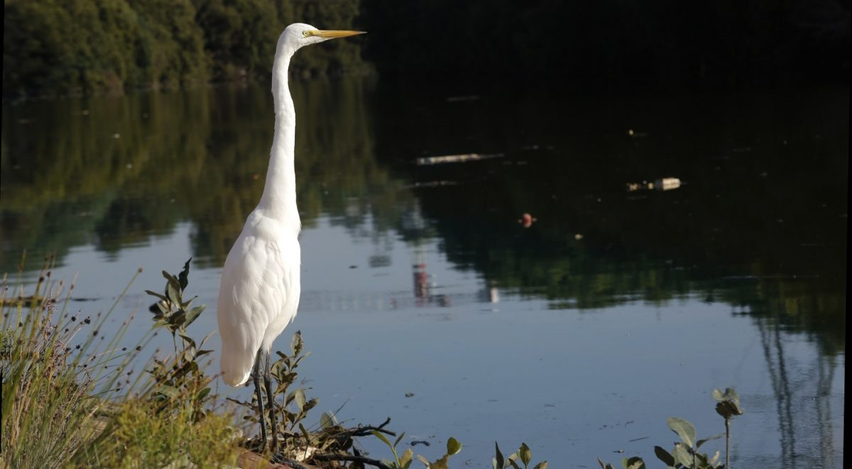 profile of great egret, bird looking out