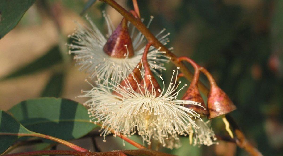 Close up of Eucalyptus Tree